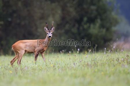 buck deer in the wild in