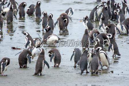 pinguine an der kueste in chile