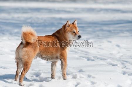 dirty shiba inu dog on snow