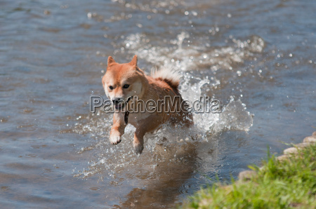 shiba inu dog jumping in water