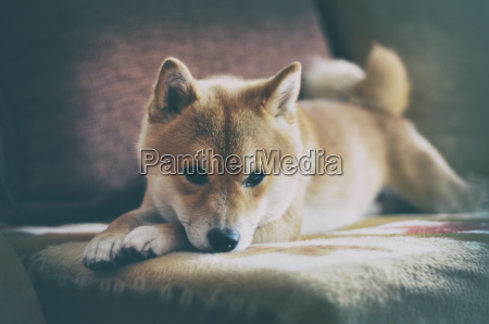 vintage siba inu dog lying on