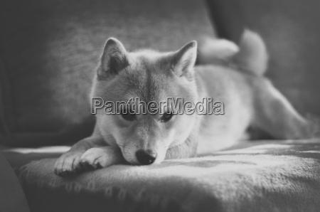 vintage black and white shiba inu