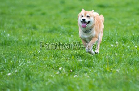 shiba inu dog on grass