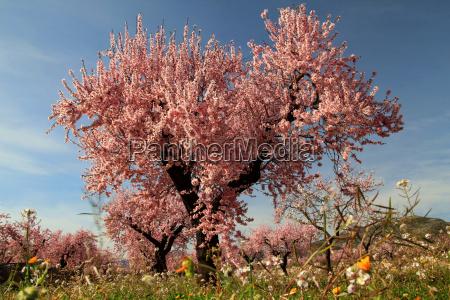 mandelbaum in voller bluete