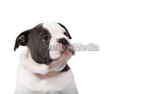 old olde english bulldog welpe schaut