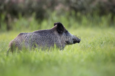 wild boar in the wild in