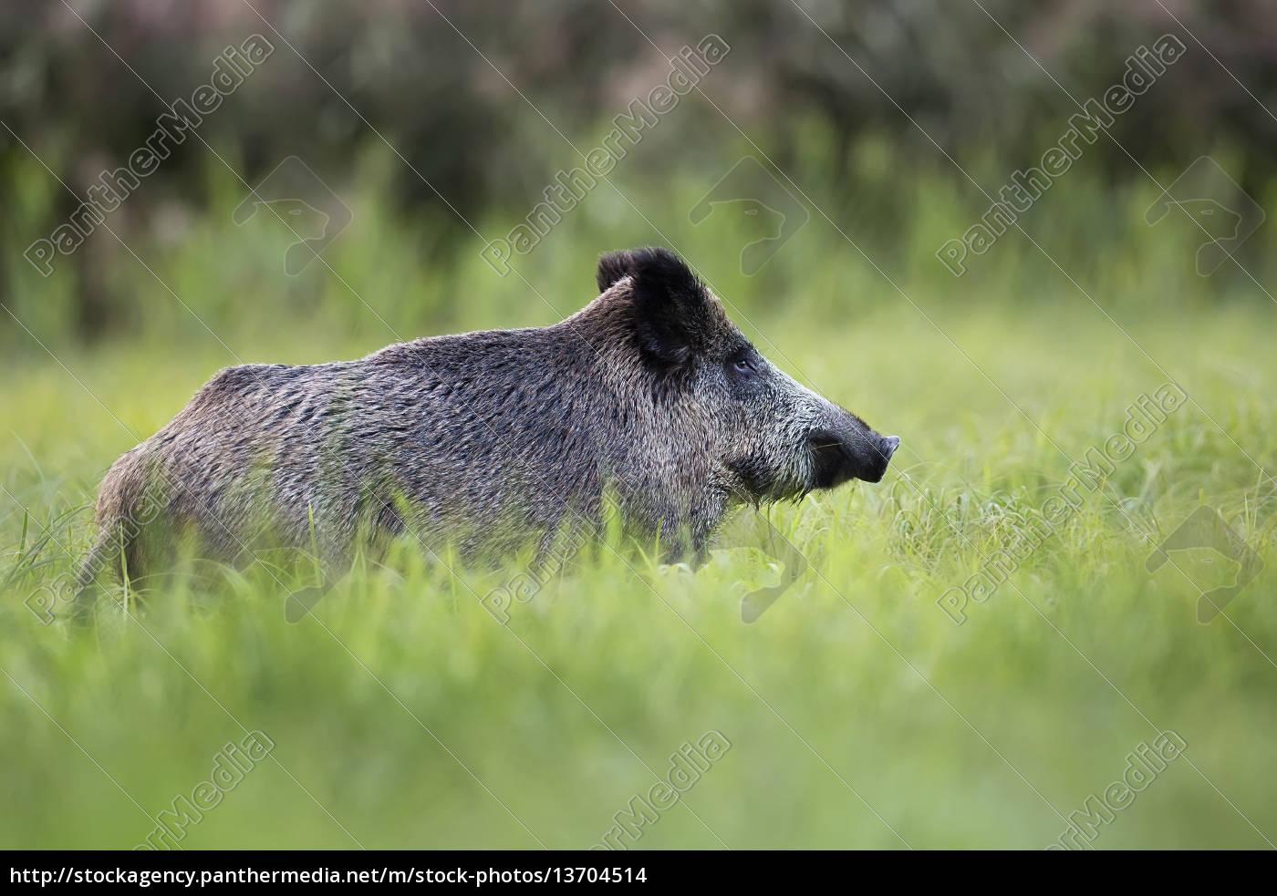 wildschweine, in, freier, wildbahn, auf, einer, lichtung - 13704514