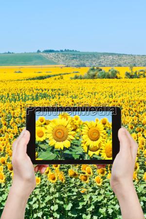 tourist taking photo sunflower flowers