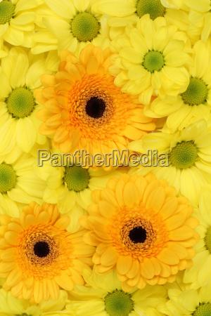 flowers chrysanthemum background spring birthday or