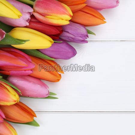 tulip flowers in spring easter or