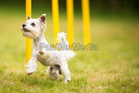netter kleiner hund der beweglichkeitsbohrer macht