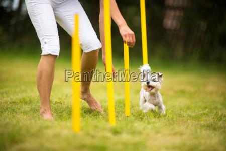 niedlicher kleiner hund der agilitaet bohrt