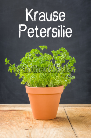 parsley in a clay pot
