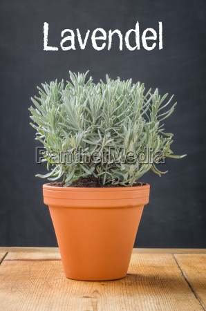 lavender in a clay pot