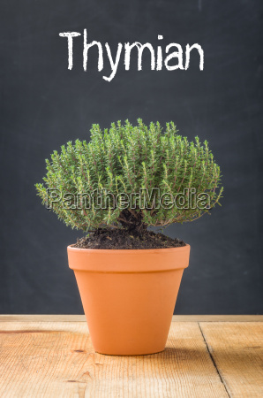 thyme in a clay pot