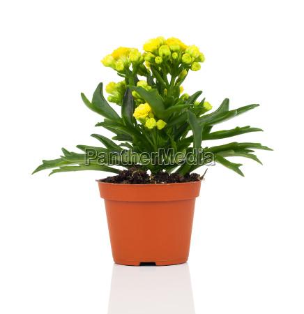 kalanchoe blossfeldiana flower in pot