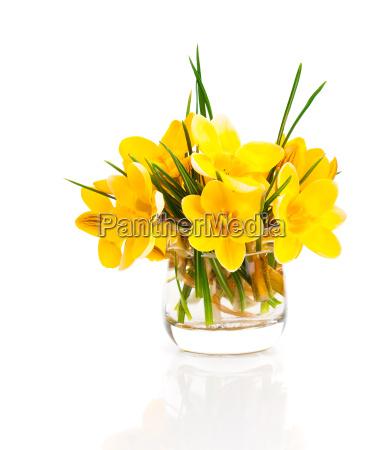 yellow crocus vernus spring crocus