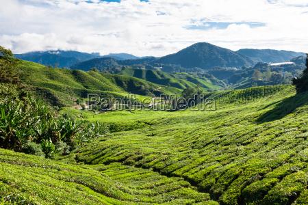 tee plantage in den cameron highlands