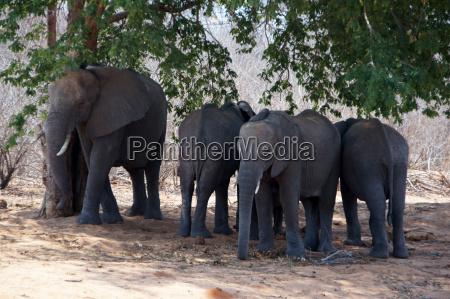 elefant zentralafrika