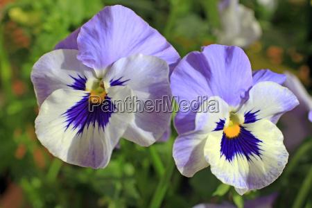 pansies violets