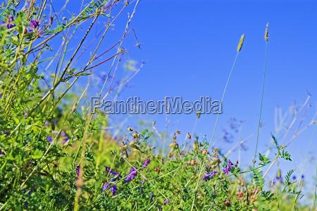 blume blumen pflanze sommer sommerlich wiese