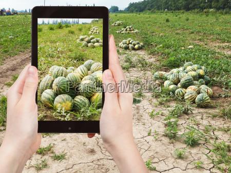 tourist fotografien der reife wassermelonen am