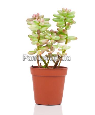 adromischus ist eine pflanzengattung aus der