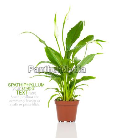 spathiphyllum oder scheidenblatt blattfahne einblatt oder