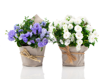 blue and white bell flowers in