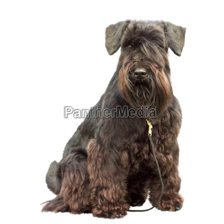 portraet eines reinrassigen hundes schwarzer zwergschnauzer