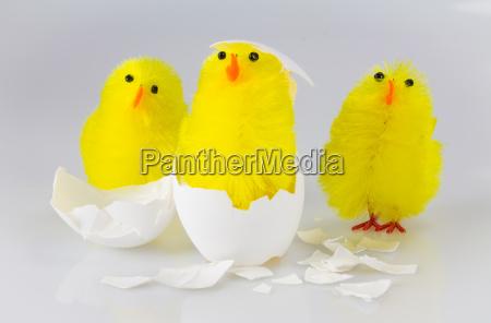 3 kueken schluepfen aus dem ei