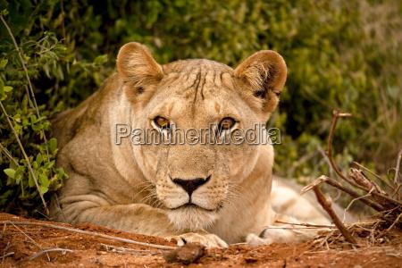 lioness blickte auf betrachter liegen