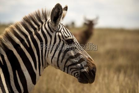 zebra profil suchen rechts