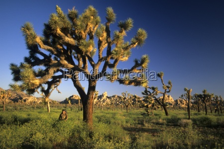 woman hiking past joshua trees and