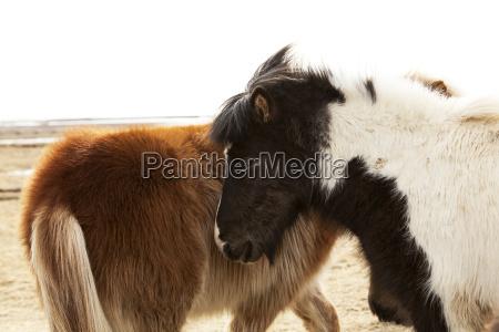 pferd ross pferde island islaendisch