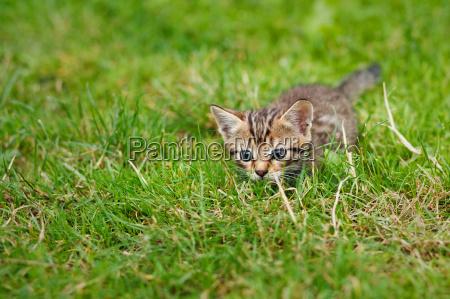 kleine gestreifte katze im gras versteckt