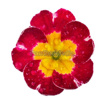 rosa primel mit tautropfen