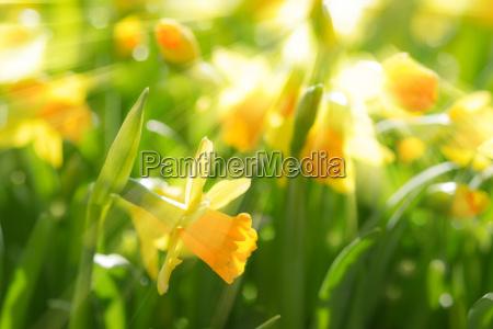 gelbe fruehlingsblumen narzissen narzissen mit hellen