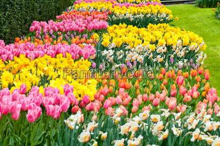 flower beds of multicolored tulips and