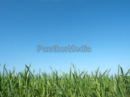 corn plants in the field