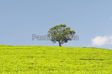 tea plantation and a tree