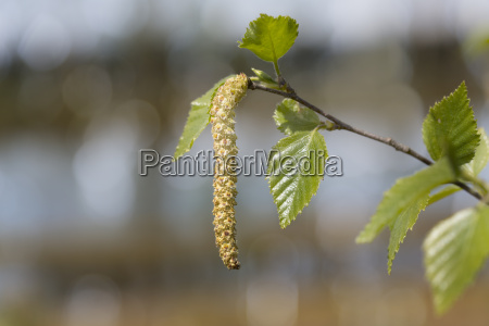 flowering birch birch pollen close up