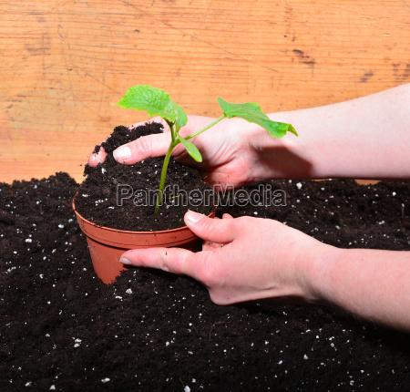 gardener hands plant soil
