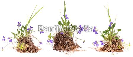 wildviola blueten