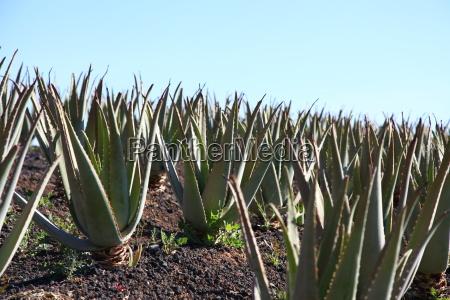 canary islands medicinal plant plant isle