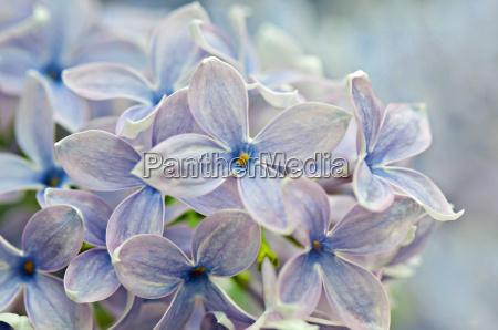 makroaufnahme von lila blueten