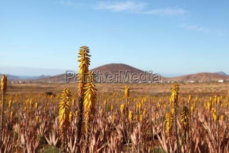 Fuerteventura, Kanarischen Inseln, Kanaren, Insel, Pflanze, Echte Aloe - 14133087