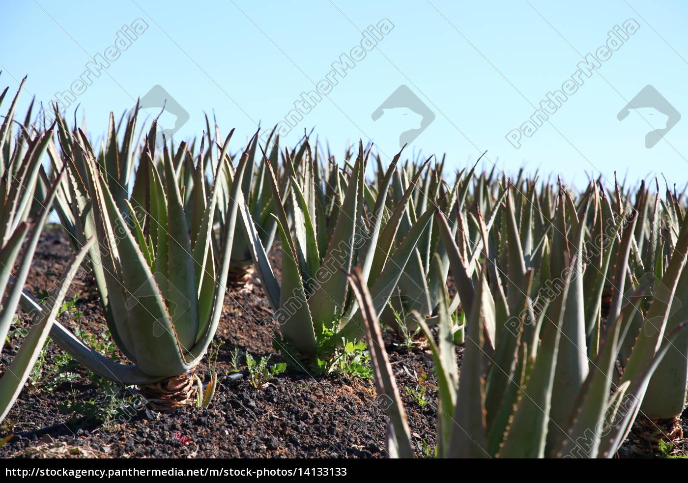 Fuerteventura, Kanarischen Inseln, Kanaren, Insel, Pflanze, Echte Aloe - 14133133