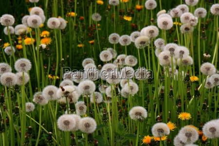 dandelion and dandelions