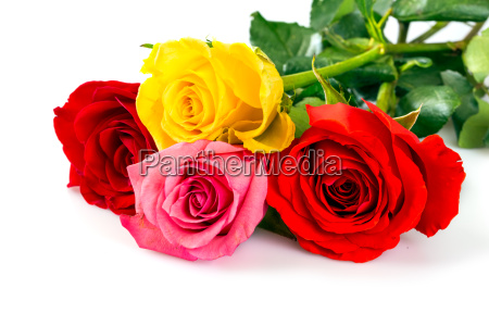 rosen auf weissem hintergrund